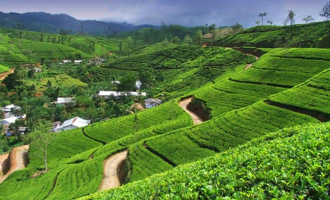 tea-estate-sri-lanka_Hauterfly