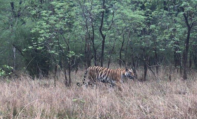 Taj Safaris in MP_Tiger in Forest_Hauterfly